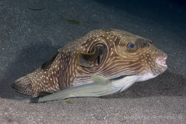 IB3-009_Arothron_reticularis,_Reticulate_puffer_with_Remora
