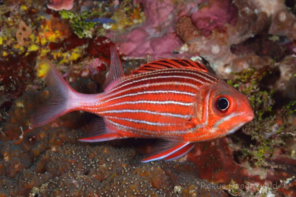 IMI-125_Sargocentron_diadema_Crown_squirrelfish