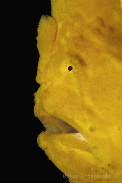 FCA-45 Giant frogfish, Antennarius commerson 3