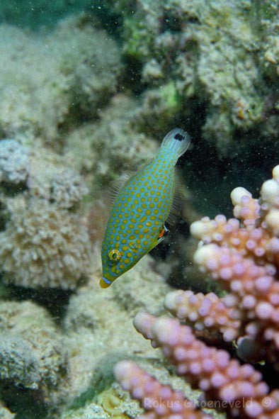 Red Sea longnose filefish, Oxymonacanthus halli