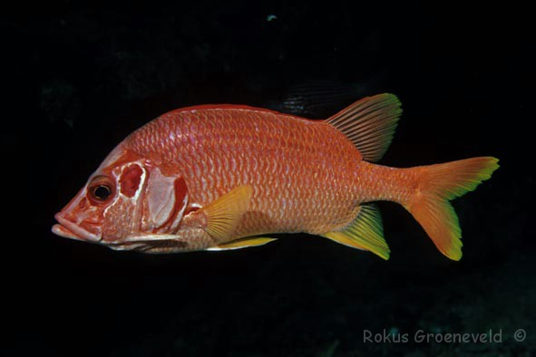 EDS-09 Giant squirrelfish, Sargocentron spiniferum