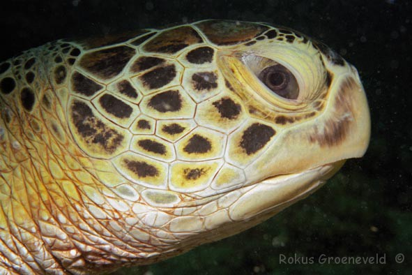 MKA-14 Green turtle head, Chelonia mydas