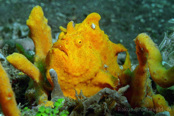 IL1-03 Painted frogfish, Antennarius pictus 3