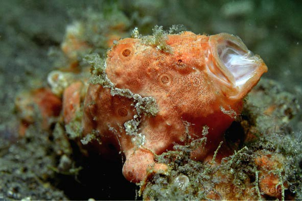 IL1-44, Painted frogfish or Painted anglerfish, Antennarius pictus