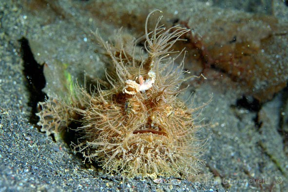 IL1-46, Striated or Hairy frogfish, Antennarius striatus