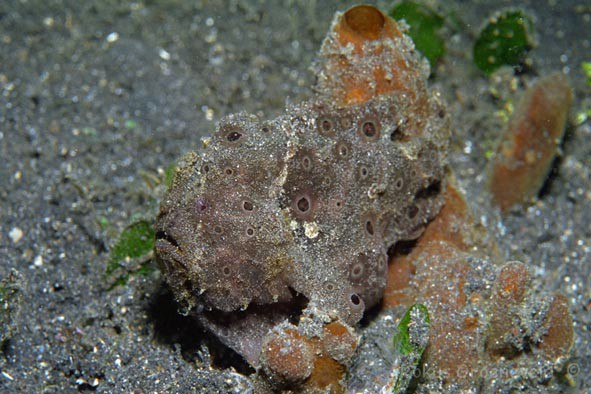 IL1-51 Painted frogfish, Antennarius pictus