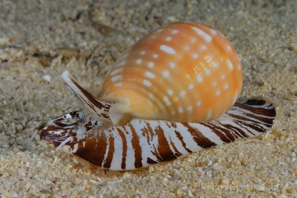 FRO-061_Malea_pomum_Brown_striped_snail_or_Pacific_grinning_tun