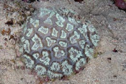 EMA-223 undetermined stony coral 1
