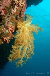 FMI-278 soft coral, Dendronephthya species