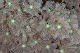 IHW-178 Waving-hand coral, Anthelia glauca