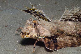IAM-242 male Fingered dragonet, Dactylopus dactylopus