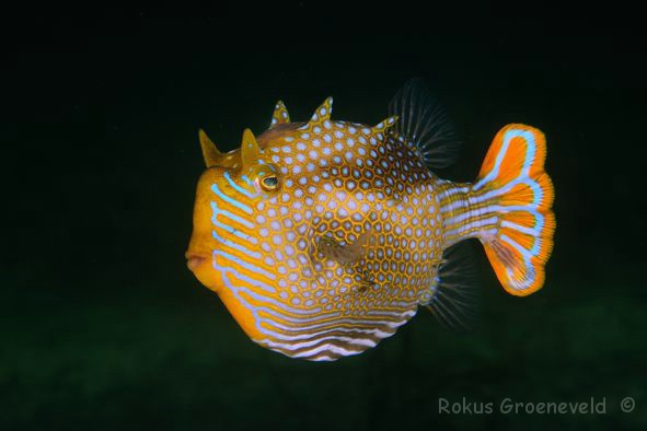 ASA-054_Aracana_ornata_Ornate_cowfish_male