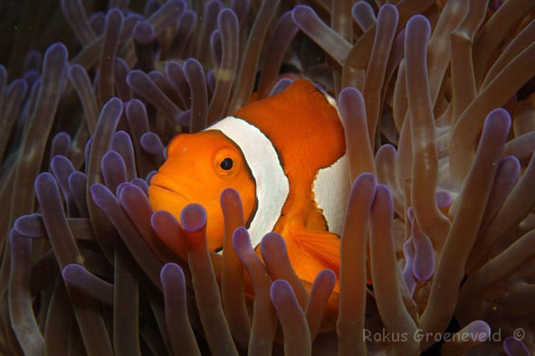 FMI-066 Clown-anemonefish, Amphiprion ocellaris