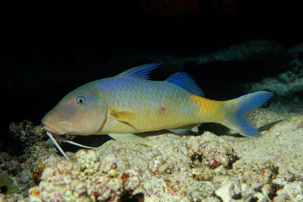 EDS-08 Yellowsaddle goatfish, Parupeneus cyclostomus
