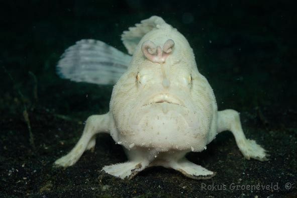 IL3-126 Striated frogfish, Antennarius striatus 1