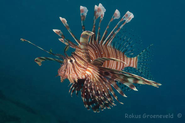 FNE-070 Common lionfish, Pterois volitans